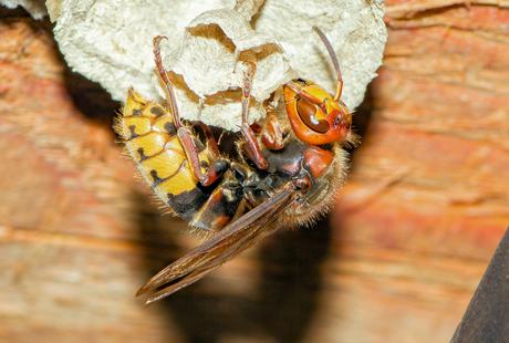 Hoornaar legt eitje