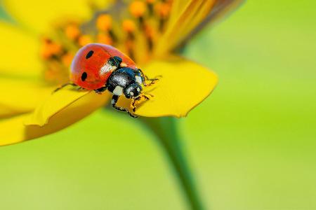 Lieveheersbeestje - Hij had met zijn kop in het stuifmeel gezeten - foto door Stephan Jansson op 27-04-2020 - deze foto bevat: macro, lente, lieveheersbeestje