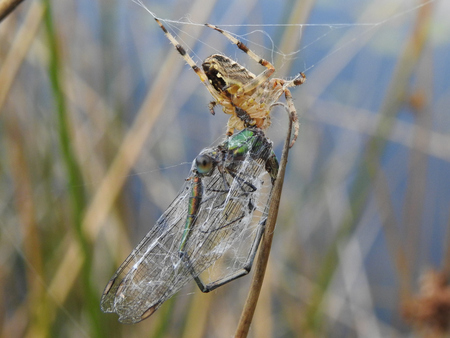 Prooi - - - foto door PatriciadeG op 04-09-2017 - deze foto bevat: macro, natuur, spin, web, insect, prooi