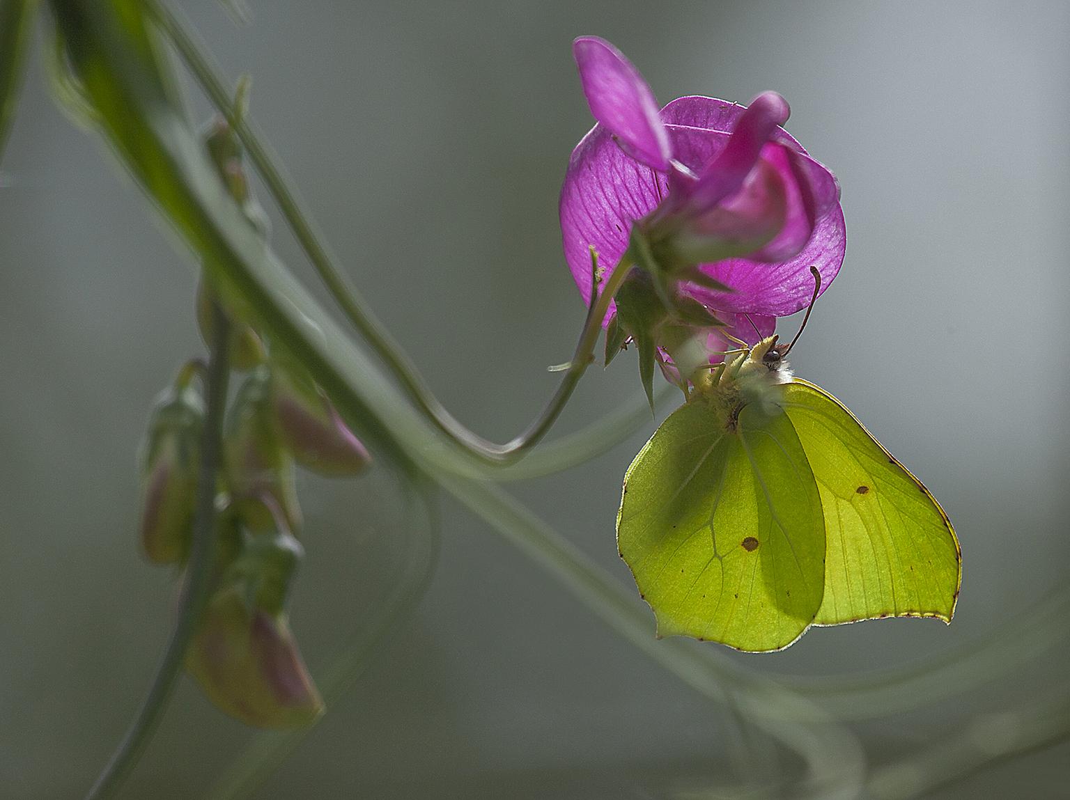 Citroenvlinder - Prachtig om te zien deze combinatie van natuurlijke kleuren  versterkt door het zonlicht. - foto door AA-99 op 11-04-2021 - locatie: 9566 Veelerveen, Nederland - deze foto bevat: bloem, gonepteryx rhamni, fabriek, zwavel, bloemblaadje, bestuiver, terrestrische plant, insect, vlinder, geleedpotigen