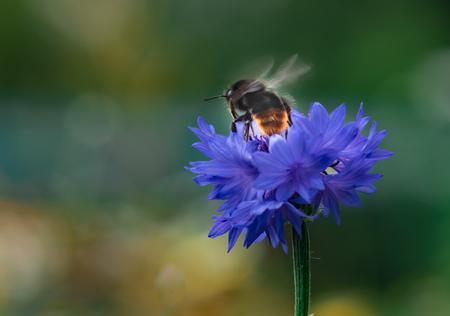 Druk druk druk - Geen tijd om rond te kijken. Druk druk druk met zoemende vleugeltjes de laatste nectar uit de bloem halen. - foto door mail-92 op 15-11-2015 - deze foto bevat: groen, macro, bij, geel, bokeh
