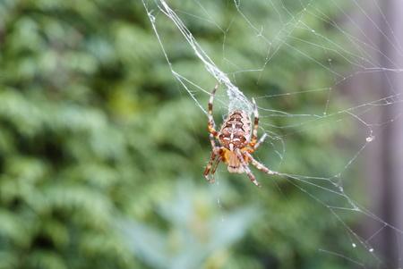 spin in verkreukeld web - macro foto van spin die haar web probeert te herstellen - foto door Frenk2021 op 12-04-2021 - locatie: Veldhoven, Nederland - deze foto bevat: spin, natuur, macro, insect, geleedpotigen, spin, natuurlijke omgeving, organisme, plaag, gras, terrestrische dieren, spinnenweb, terrestrische plant