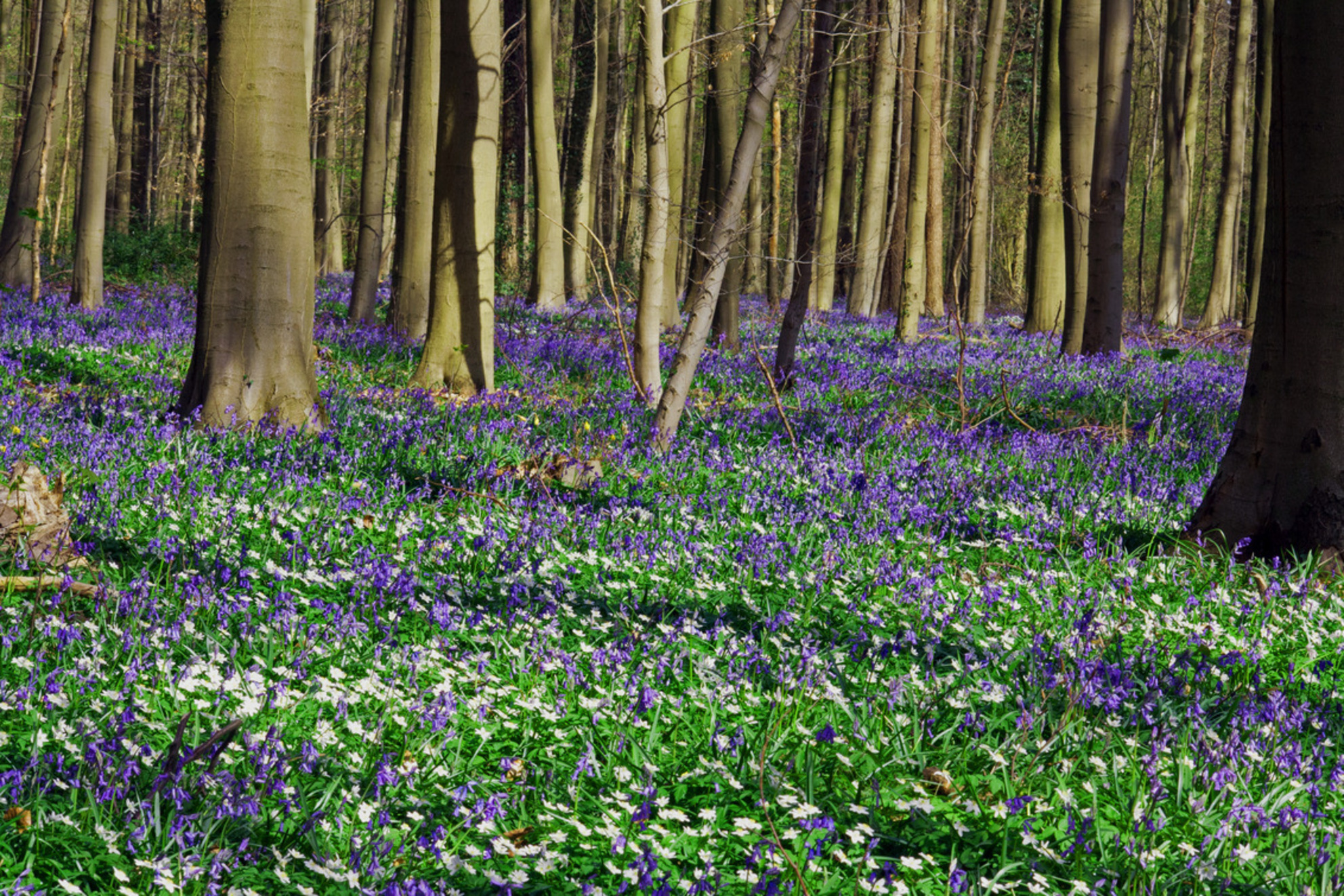 hallerbos - Hallerbos - foto door edpeel op 02-12-2015 - deze foto bevat: bloem, natuur, landschap, bos, voorjaar, hallerbos - Deze foto mag gebruikt worden in een Zoom.nl publicatie