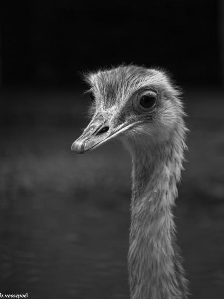 de struisvogel