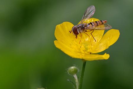 Zweefvlieg - En hier nog een van een aantal weken terug. - foto door Martine van Doorn-Bos op 23-10-2011 - deze foto bevat: zweefvlieg