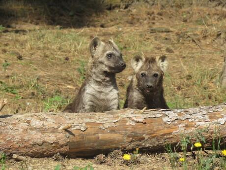Hyena zusjes