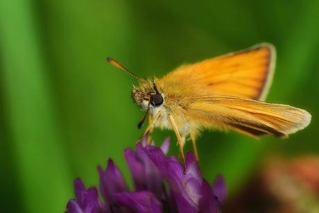 Zwartsprietdikkopje (Thymelicus lineola).jpg