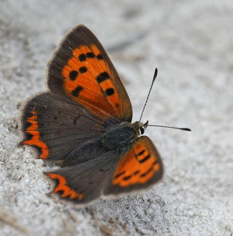 vurig vlindertje