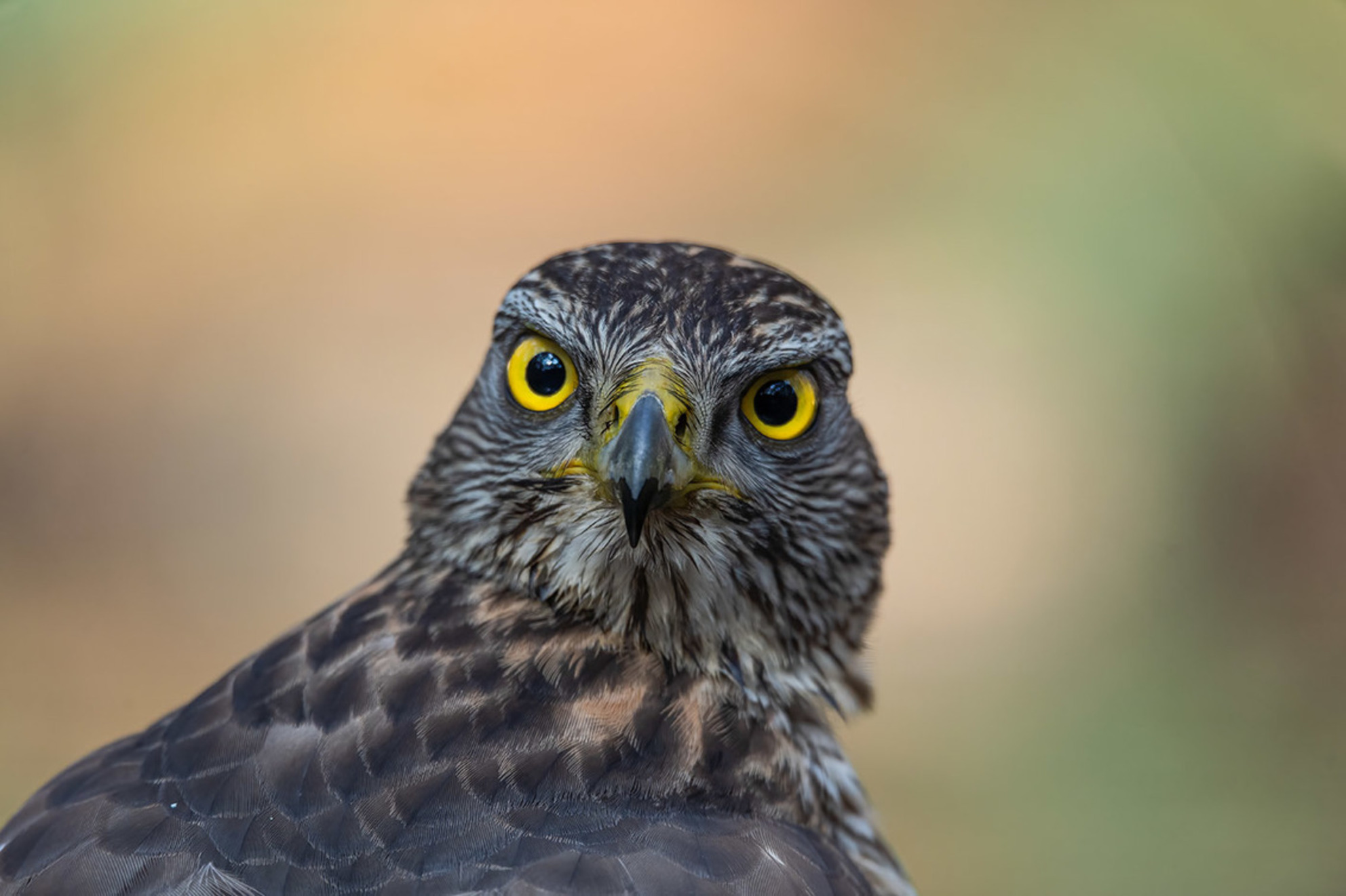 Look at me - - - foto door Vanhekke op 04-03-2021 - deze foto bevat: natuur, dieren, roofvogel, wildlife, havik - Deze foto mag gebruikt worden in een Zoom.nl publicatie