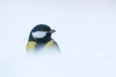 Een droom van een Koolmees - Vandaag even de kou getrotseerd. Nu er sneeuw ligt is er ook de mogelijkheid voor high-key foto's D300 200-400VR, rijstzak vanaf de grond - foto door michelgeven op 06-01-2009 - deze foto bevat: man, sneeuw, winter, koolmees, koud, vorst, snow, zangvogel, high-key