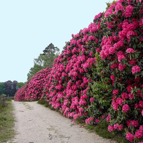 Rododendrons bij de Sprengenberg!