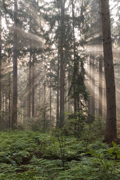 Foggy morning in the forrest