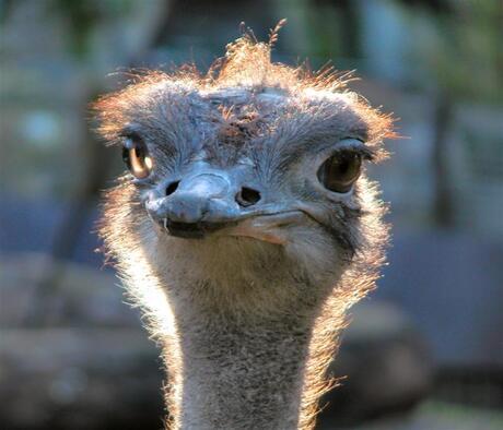 Afrikaanse struisvogel