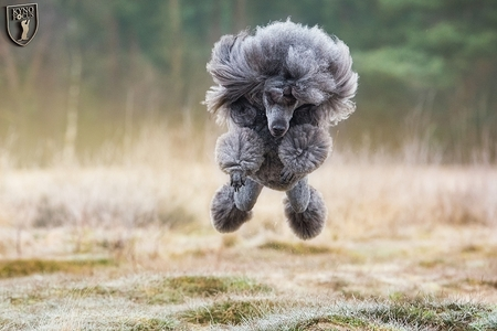 Vliegende Poedel - Vliegende poedel in de Soesterduinen.  Foto: www.kynofocus.nl - foto door kynofocus op 28-08-2015 - deze foto bevat: winter, vliegen, hond, poedel