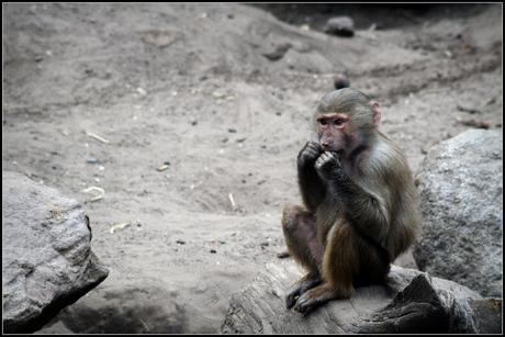 Aap in dierenpark Amersfoort