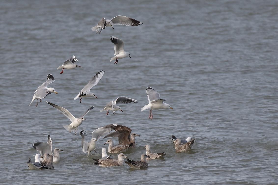 De vogel is gevlogen - kok- storm- en zilvermeeuwen - foto door AnneliesV op 26-02-2021 - deze foto bevat: water, meeuw, natuur, dieren, vogel, watervogel
