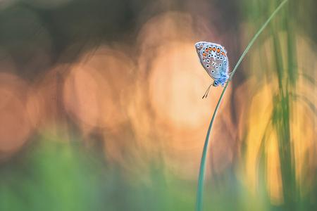 sunset - Op een plek waar ik graag kom vliegen de blauwtjes talrijk. Het blijven leuke vlinders om te fotograferen. Deze heb ik 's avonds rond zonsondergang g - foto door diaantje78 op 24-05-2019 - deze foto bevat: macro, blauw, lente, natuur, vlinder, blauwtje, licht, insect, dof, bokeh