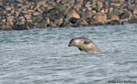 springend zeehondje