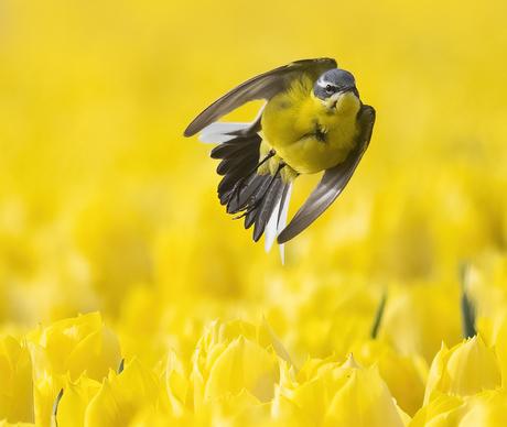 Gele Kwikstaart boven een tulpenveld