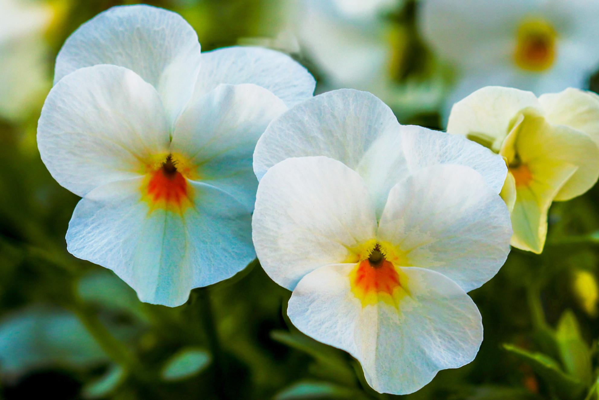 Viooltjes - vrolijkt het sombere weer wat op. - foto door WillemH52 op 08-03-2021 - deze foto bevat: groen, macro, wit, bloem, lente, natuur, dof