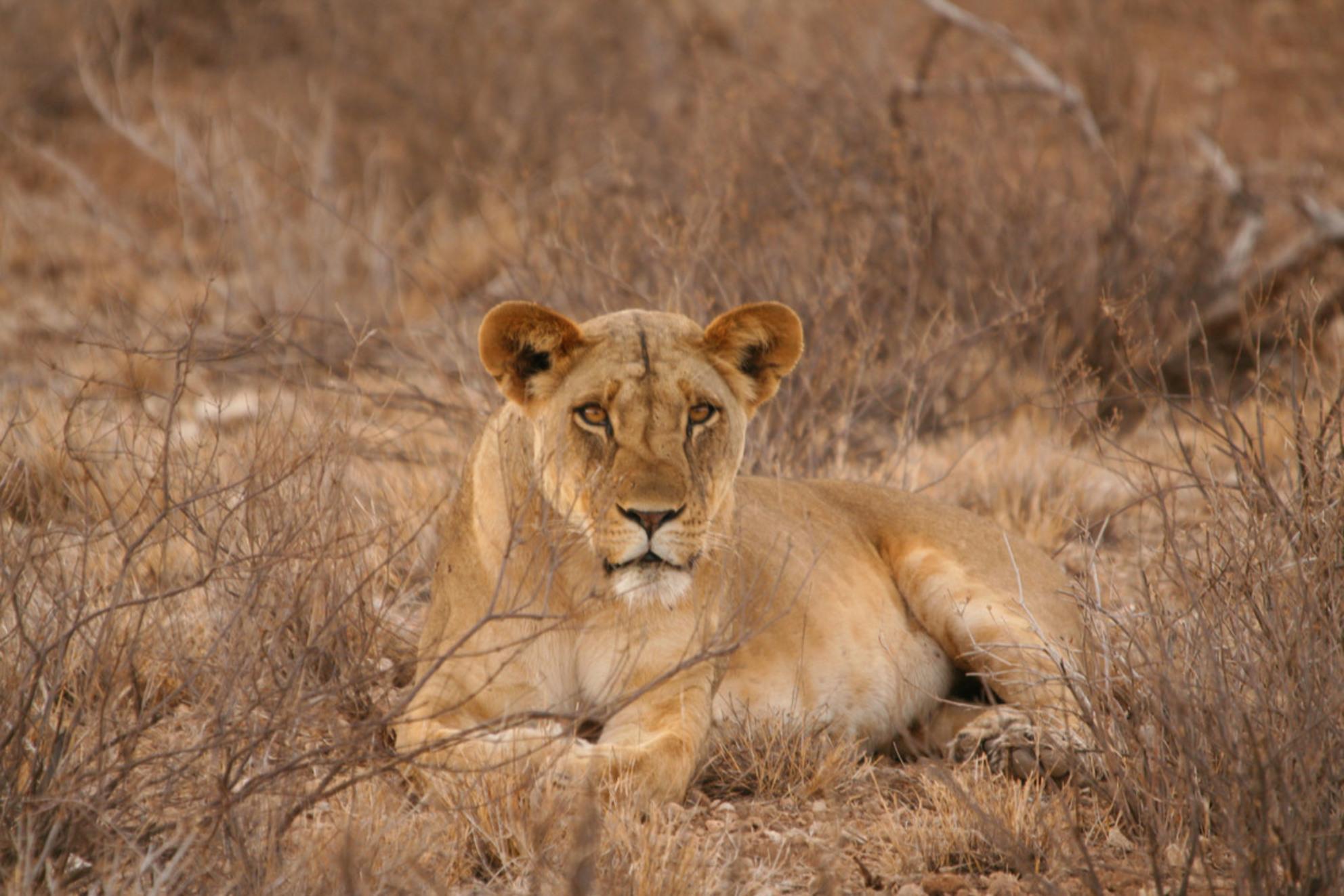 Leeuw - - - foto door marc_v_o op 19-02-2017 - deze foto bevat: safari, leeuw, afrika, wildlife