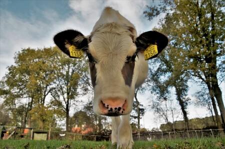 1158- Elisabeth - hele nieuwschierige kalveren - foto door liedjes-liedjes op 28-10-2018 - deze foto bevat: boerderij, koe, boer, kalf, rund, vee, platte land, holsteiner frisian, holsteiner