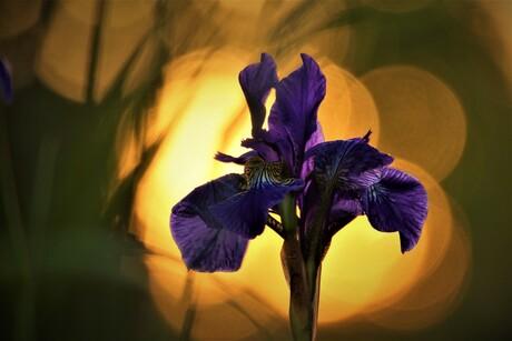 Iris in avondzon