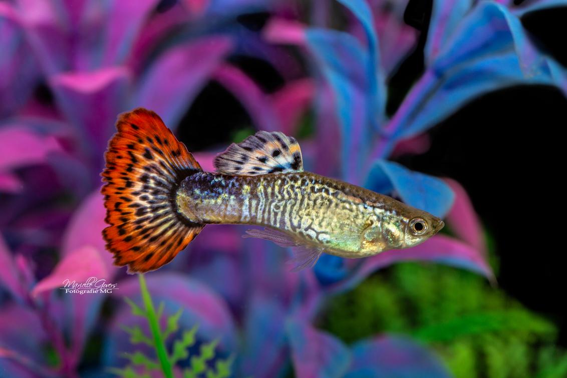 Guppy - - - foto door Fotografiemg op 22-08-2020 - deze foto bevat: kleuren, natuur, dieren, vis, vissen, zwemmen, aquarium, huisdieren, schattig, zoetwater, guppy, vinnen, vis fotografie, aquarium hobby