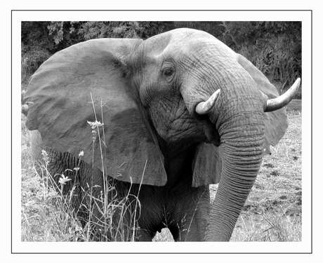 Een olifant als fotomodel !