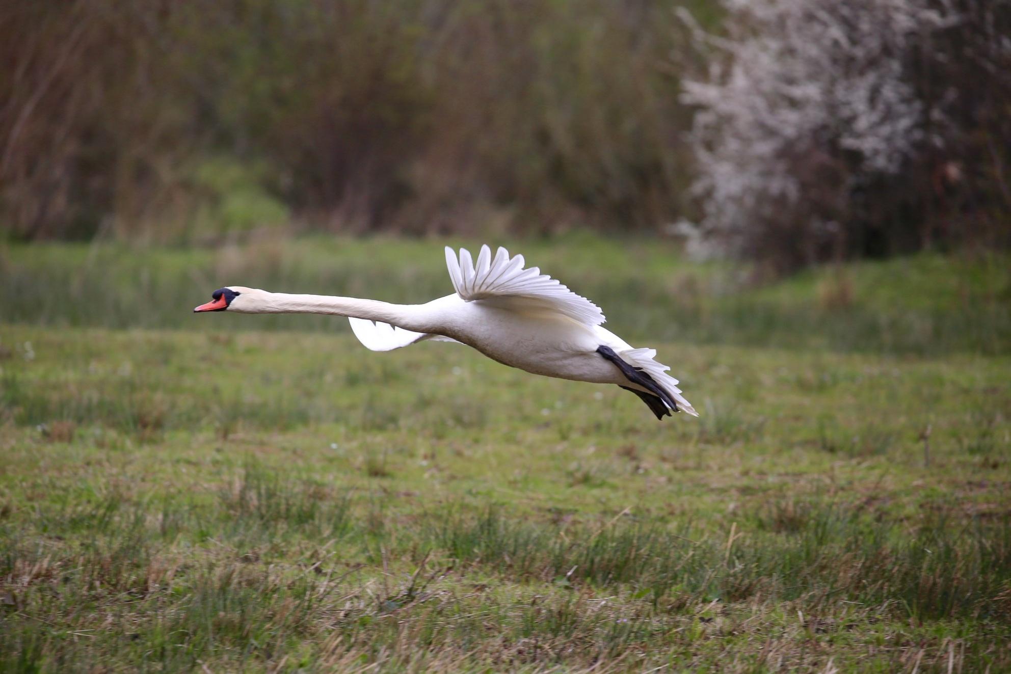 Zwaan - Vliegt op vlakbij - foto door Ebben op 08-04-2021 - deze foto bevat: vogel, fabriek, bek, boom, veer, grasland, gras, watervogels, weide, ciconiiformes