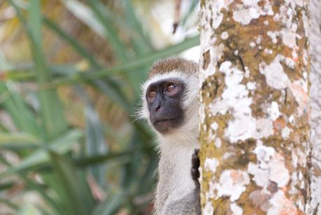 Groene Meerkat