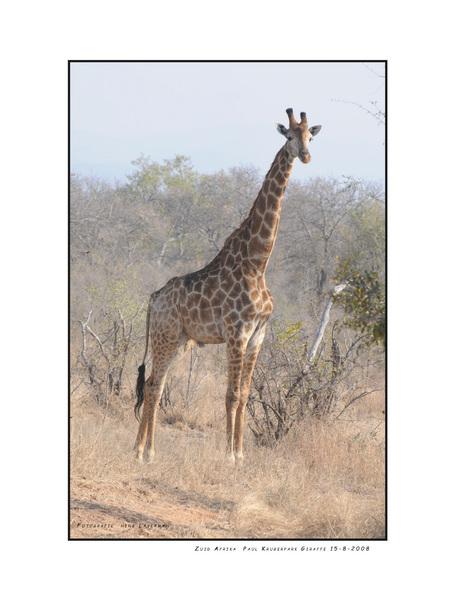 Kameelperd - Kameelperd is de naam die Zuid Afrikanen geven aan de Giraffe. Dit indrukwekkende beest heb ik in het Paul Krugerpark kunnen fotograferen. Langzaam l - foto door Henk Laverman op 20-01-2009 - deze foto bevat: dieren, giraffe, zuid, afrika, paul, krugerpark, kameelperd