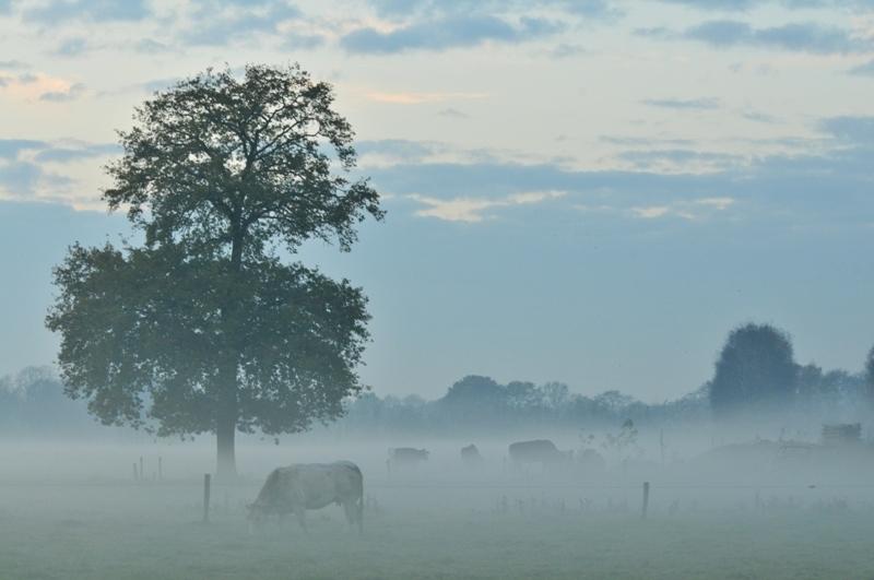 mistig plaatje - Koeien in de mist bij zondondergang - foto door jvos1972 op 23-11-2011 - deze foto bevat: koeien, mist