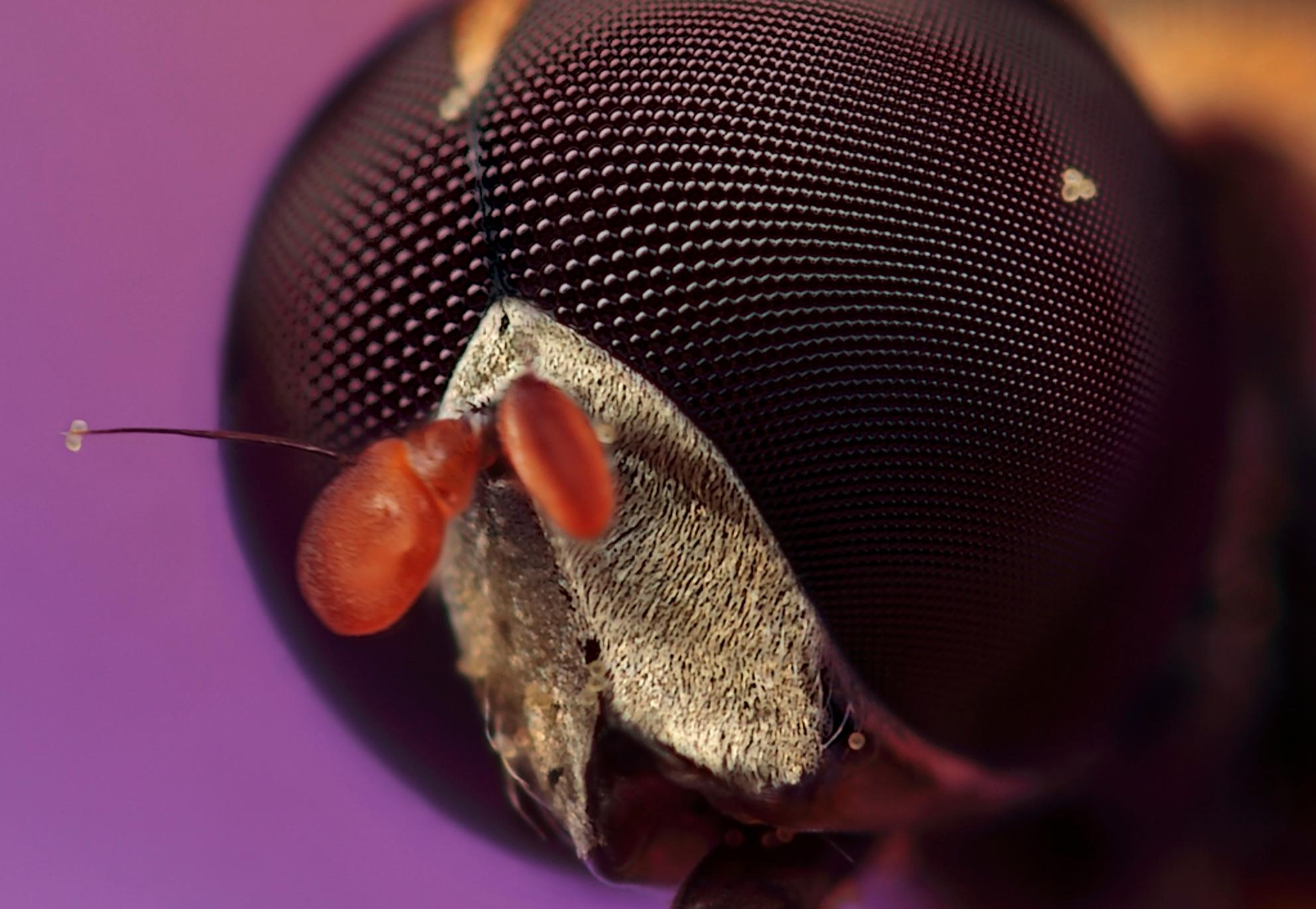 Portretje - van een kleine pyjamazweefvlieg, gemaakt met vergrotingsfactor 10, f/6.3, ISO  100 en 1/250 sec. De grote versie is te zien op  [url]http://www.huu - foto door hwdewaard op 11-10-2011 - deze foto bevat: natuur, vlieg, zweefvlieg, pyjamazweefvlieg, insect, dier, micro, macro.Huub