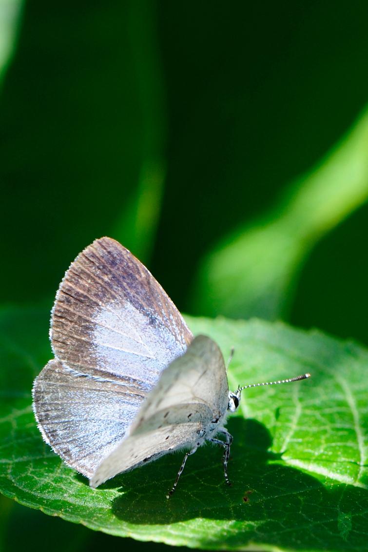 Boomblauwtje - Dit boomblauwtje zat heerlijk te zonnebaden op een blad van de vlinderplant. - foto door joostopzoomnl op 05-09-2015 - deze foto bevat: zon, natuur, vlinder, blauwtje, boomblauwtje, blad, schaduw, vlinders, nikon, nederland, compositie, flevoland, almere, zonnebaden, vlinderstruik, joost, blauwtjes, nikkor, lycaenidae, celastrina argiolus