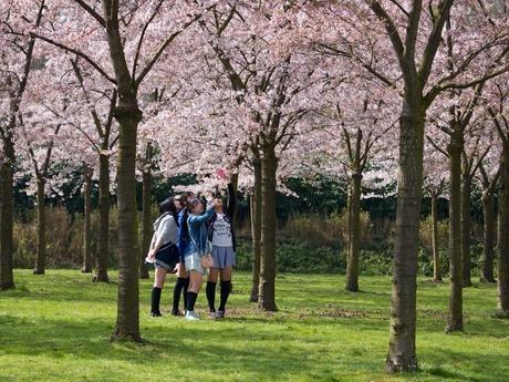 Japanse meisjes bestuderen Japanse kers