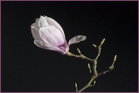 Magnolia buitenkant