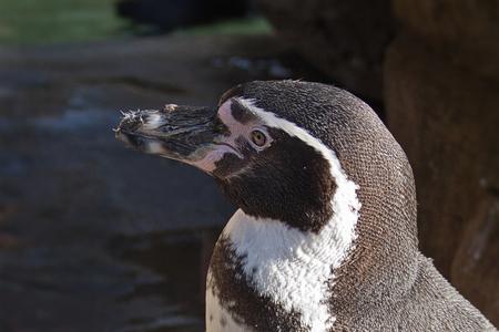 Pinguin - Nog eentje uit ons bezoek aan de zo in antwerpen vorige week. De pinguins... die zullen zich wel in hun sas voelen met deze temperaturen. Een close  - foto door kosmopol op 03-02-2012 - deze foto bevat: pinguin, antwerpen, zoo, kosmopol