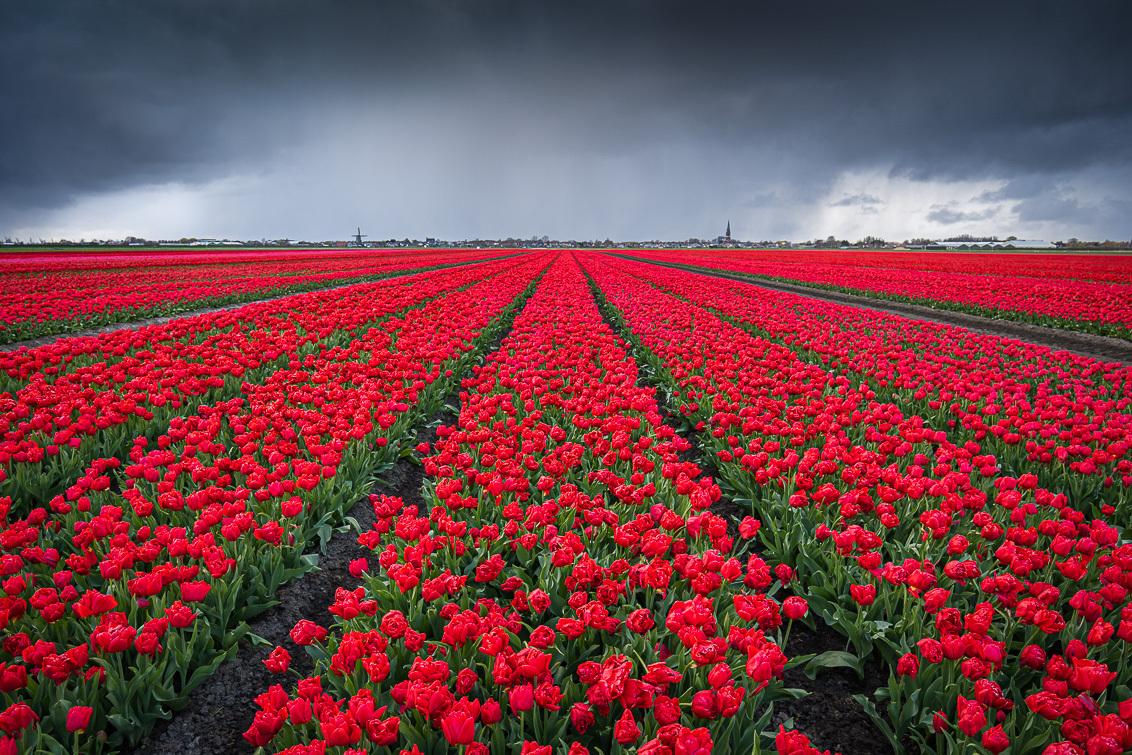 Hagelbui boven een rood tulpenveld - Hagelbui boven een rood tulpenveld. - foto door yeroon86 op 12-04-2021 - locatie: Nederland - deze foto bevat: rood, tulpen, holland, nederland, lente, hagel, storm, wolken, lucht, jeroen schouten, bloem, wolk, lucht, fabriek, bloemblaadje, mensen in de natuur, natuurlijk landschap, landbouw, gras, bodembedekker