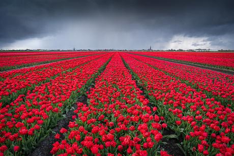 Hagelbui boven een rood tulpenveld