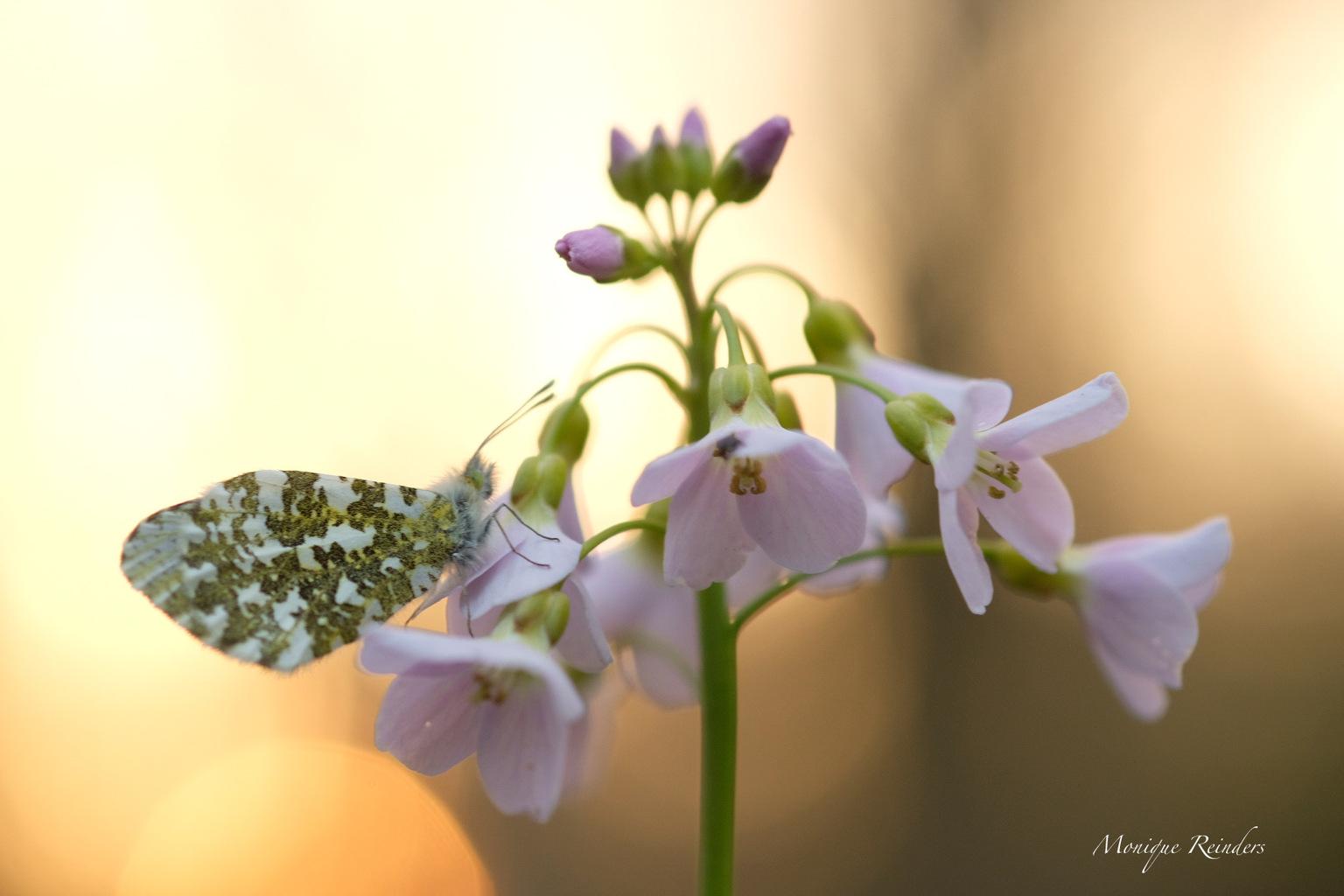 Oranjetipje - Gisteravond nog dit oranjetipje kunnen fotograferen.  - foto door MoReCremers op 16-04-2021 - locatie: 6114 KW Echt, Nederland - deze foto bevat: vlinder, natuur, macro, zonsondergang, pinksterbloem, nederland, limburg, oranjetip, bloem, fabriek, bestuiver, bloemblaadje, purper, terrestrische plant, paars, pedicel, vlinder, bloeiende plant