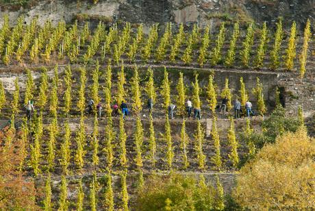 Wijnbouwers langs de Moesel