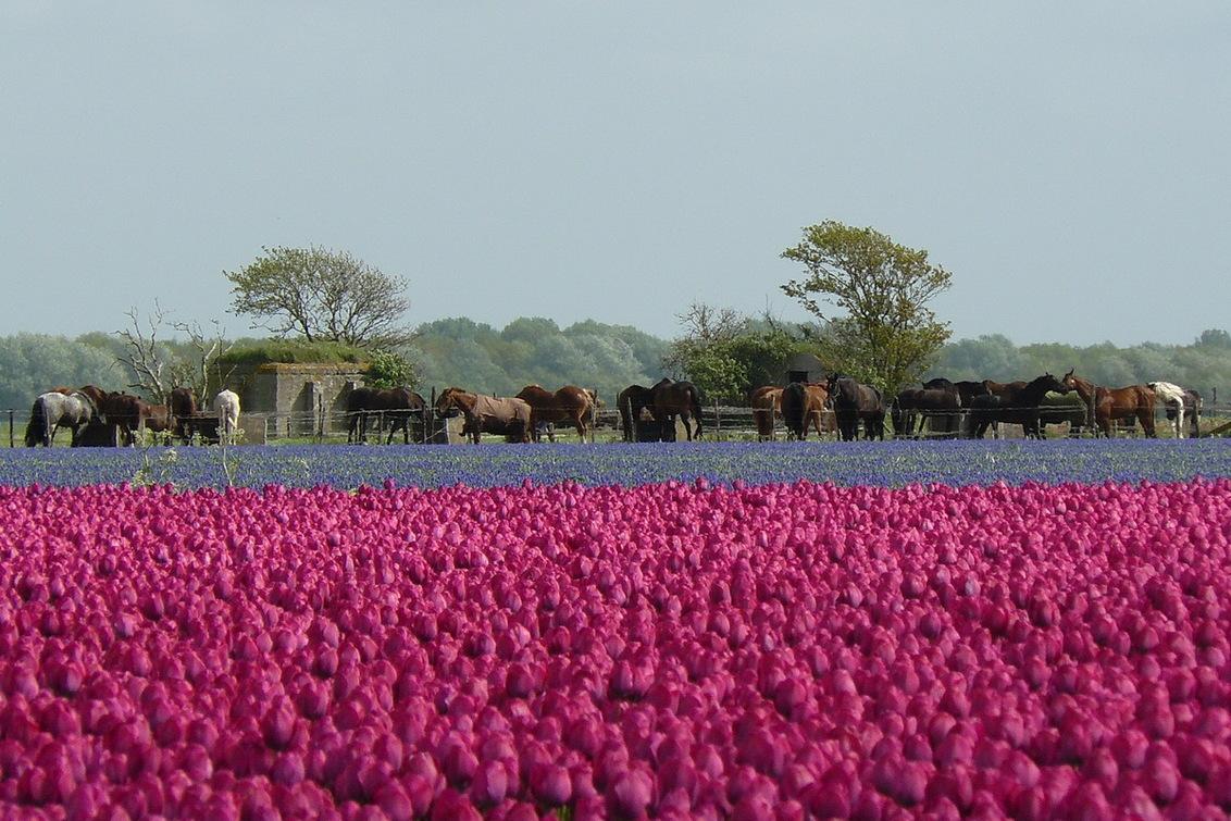"""Horses in purple - Paarden nabij een manege in Egmond,in een spannend veld met bomen en bunkers, gepositioneerd achter een bloeiend tulpenveld. Ik werd m.n. """"getrokken"""" - foto door joswdb op 30-01-2012 - deze foto bevat: paarden, bosrand, bunkers, manege, paarse tulpen"""