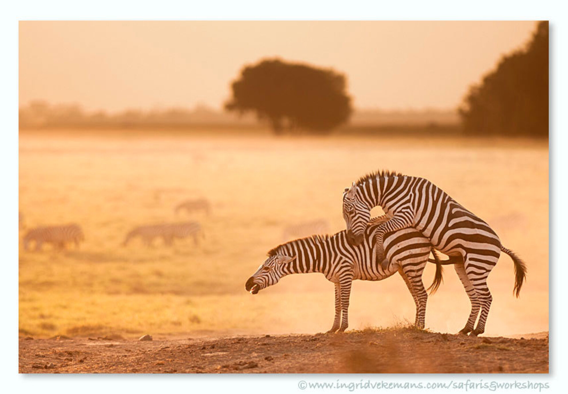 Love Me Tender - Even na datum toch nog een Valentijnsbeeldje :-) - Amboseli, Kenia. - foto door IngridVekemans op 19-02-2017 - deze foto bevat: zebra, natuur, dieren, safari, liefde, afrika, wildlife, kenia, fotoreis, fotoreizen, fotosafari - Deze foto mag gebruikt worden in een Zoom.nl publicatie