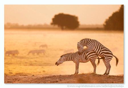 Love Me Tender - Even na datum toch nog een Valentijnsbeeldje :-) - Amboseli, Kenia. - foto door IngridVekemans op 19-02-2017 - deze foto bevat: zebra, natuur, dieren, safari, liefde, afrika, wildlife, kenia, fotoreis, fotoreizen, fotosafari