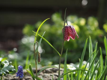 Wilde kievitsbloem - Hij Siert weer in de tuin - foto door pietsnoeier op 03-04-2021 - deze foto bevat: macro, bloem, natuur, tuin, wilde kievitsbloem