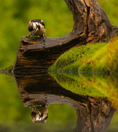 Spiegeltje,spiegeltje aan de waterkant, wie is de mooiste grote bonte specht van het land?