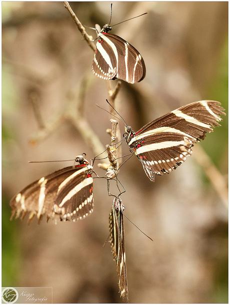 vlinderbloem