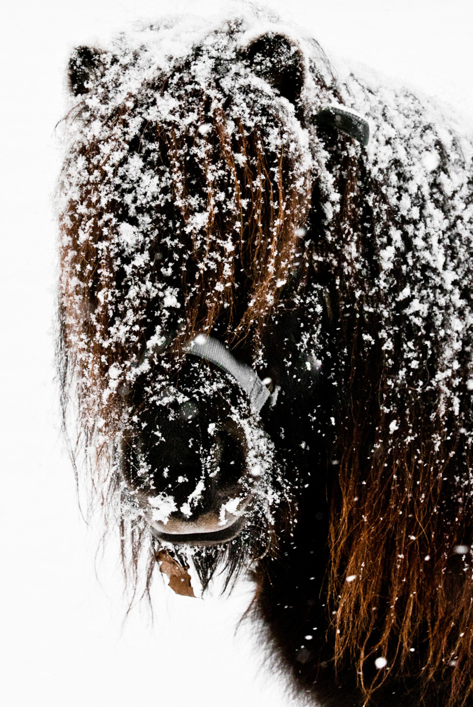 Slecht zicht...... - Dit kleine paardje de afgelopen winter ergens in een natuurgebied gefotografeerd. Vond het zo'n aandoenlijk gezicht, al die sneeuw in zijn manen.... - foto door hagarr op 09-10-2012 - deze foto bevat: sneeuw, pony, paardje, kou, winterbeeld - Deze foto mag gebruikt worden in een Zoom.nl publicatie