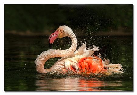 Badderthime - Ter afsluiting van de fotoclub seizoen was dit jaar gekozen om naar Burgers Zoo te gaan waar dit een opname van is een badderende flamingo  Effies  - foto door Anna Rass op 14-06-2015 - deze foto bevat: dierentuin, vogel, watervogel